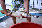 ZIGONG, CHINA - JUNE 24: (CHINA OUT) <br /> <br /> Alligator Gar Appeared <br /> <br /> A 75-centimeter-long 3-kilogram-weigh alligator gar with broad snout and long sharp teeth is seen on June 24, 2014 in Zigong, Sichuan province of China. A 75-centimeter-long 3-kilogram-weigh alligator gar gets caught by two men by fishing pole and fishing net from a pond of Zigong's Shanshuimingyuan community. The alligator gar is the largest species of gar, and it is one of the largest freshwater fishes found in North America.<br /> ©Exclusivepix