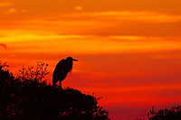 A great blue heron silhouette with a fiery, extraordinary and spectacular sunset over Pensacola Bay, Florida.