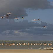 West Indian Flamingo (Phoenicopterus ruber) at Lake Windsor, Great Inagua, Bahamas.