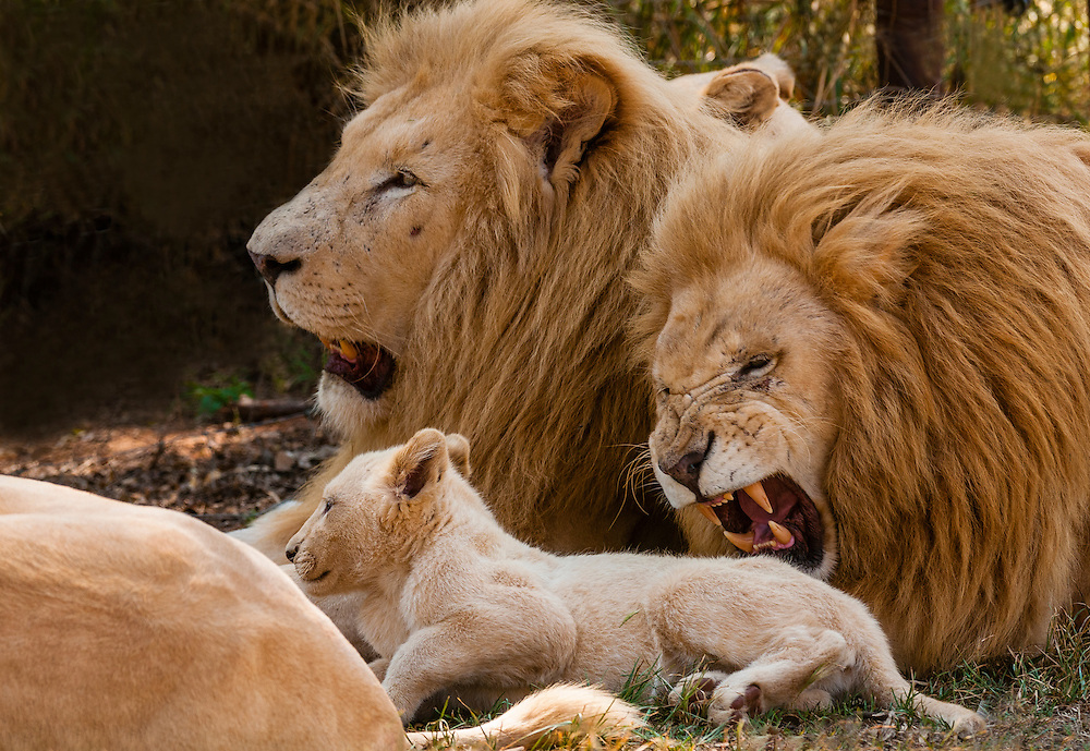 A pride of rare white lions, including two males and a cub. Lion Park, near Johannesburg, South Africa. The white lion is a rare color mutation of the Timbavati region of South Africa.
