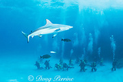 blacktip shark, Carcharhinus limbatus, and students in Dr. Erich Ritter's shark class, at Shark Rodeo, Walker's Cay, Bahamas ( Western Atlantic Ocean )