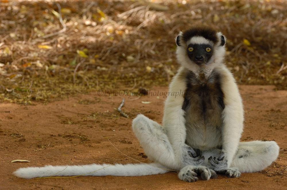 Verreaux's Sifaka (Propithecus verreauxi) sitting on ground, vulnerable, Berenty Reserve, southern Madagascar