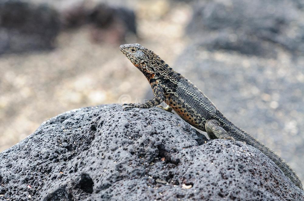 Galapagos Lava Lizard (Microlophus delanonis) from  Punta Espinoza, Fernandina, Galapagos.