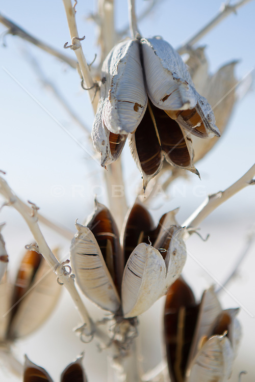 detail of a dry Yucca Plant in The Southwest Desert