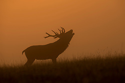 © Licensed to London News Pictures. 20/09/2015. Richmond, UK . A stag calling out while grazing at sunrise early in the morning at Richmond park in West London as Autumn approaches. . Photo credit : Ian Schofield/LNP