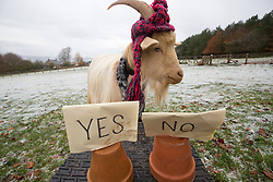 Boots the fortune telling goat gives their predictions for 2017, at Lanton Hill Farm, Jedburgh.