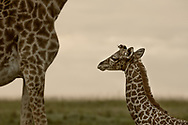 Mother and her newborn giraffe of three hours roam the iconic Maasai Mara together for the first time.