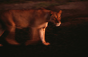 A lioness stalks through the landscape of the Serengeti National Park at dawn in Tanzania