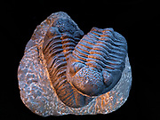 Pair of large Devonian trilobites, Drotops megalomanicus, formerly known as Phacops rana africanus, found in Hamar L'Aghdad Limestone of the Atlas Mountains near Djebel Issimour, Alnif, Morocco.
