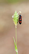 Cercopis intermedia is a species of froghopper in the family Cercopidae. It occurs in Europe and the Near East. Photographed in Israel in April