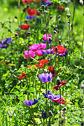 Israeli wildflowers - various coloured Crown Anemone (Anemone coronaria)
