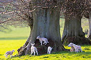 Sheep and lambs, Ovis aries, near Naunton in The Cotswolds, Gloucestershire, UK