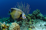 French Angelfish (Pomacanthus paru)<br /> BONAIRE, Netherlands Antilles, Caribbean<br /> HABITAT & DISTRIBUTION: Reefs in pairs and also acts as cleaner fish. Florida, Bahamas, Caribbean, Gulf of Mexico & Brazil