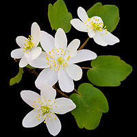 Close-up of rue anemone (Anemonella thalictroides) growing along the 13 Bridges trail in Rockefeller State Park Preserve, Sleepy Hollow, NY.