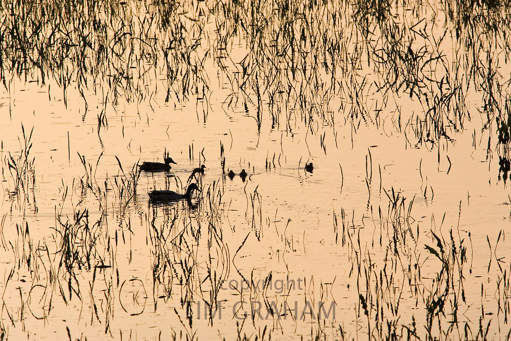 Ducks and their ducklings in flooded meadow, Oxfordshire, United Kingdom