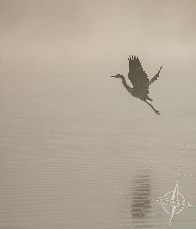 Blue Heron taking flight over a lake.