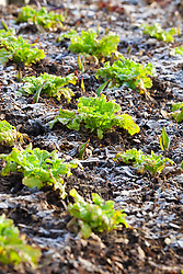 Lettuce 'Green Oak Leaf' in frost with tulips just starting to push up through the soil