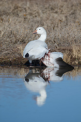 Snow goose with broken wing from predator attack, Bosque del Apache, National Wildlife Refuge, New Mexico, USA.