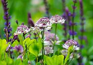 Astrantia and Salvia in a border at Stockton Bury Gardens, Kimbolton, Leominster, Herefordshire, UK