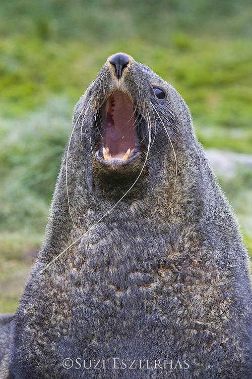 South American Fur Seal<br /> Arctocephalus australis<br /> Large bull vocalizing in defense of territory<br /> Grytviken, South Georgia