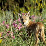 Coyote, (Canus latrans) Young pup in Lupine wildflowers. Summer. Captive Animal.