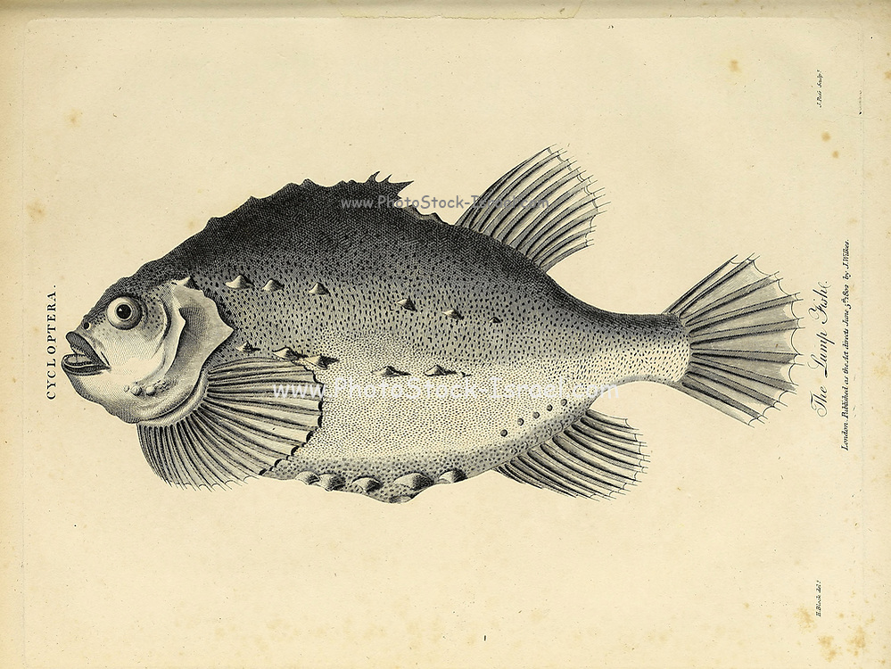 Cycloptera The Lump fish [Lumpfish] Copperplate engraving From the Encyclopaedia Londinensis or, Universal dictionary of arts, sciences, and literature; Volume V;  Edited by Wilkes, John. Published in London in 1810