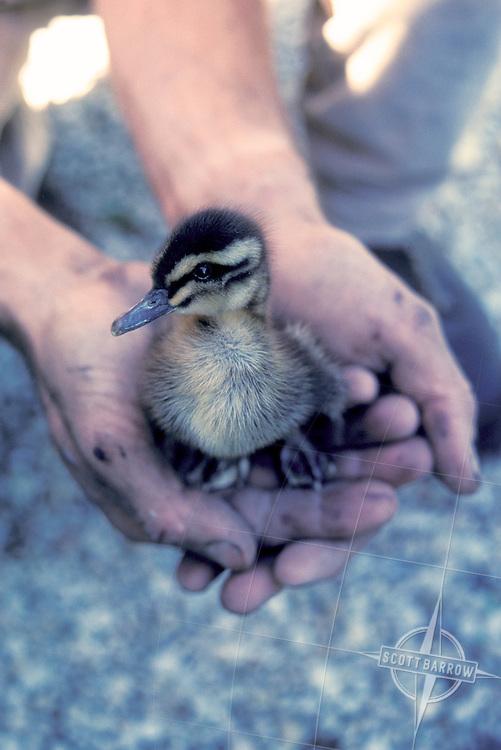 Wild Duckling in Cupped Hands