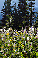 Western Anemone seedheads amoung other wildflowers near Tipsoo Lake at Mount Rainier National Park in Washington State, USA