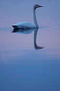 Whooper swan (Cygnus cygnus), Kuhmo, Finland