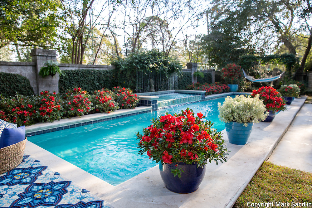 Encore Azaleas planted in mass around backyard pool and in container on pool deck