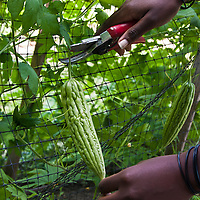 Closeup on the hands of an African-American gardener using garden shears to harvest a bittermelon.