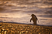 Fiordland Crested Penguin Pictures - Photos