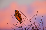 Against a backdrop of red clouds, a short-eared owl (Asio flammeus) watches the sun set from its perch in a field in the Skagit Valley near Bow, Washington. The short-eared owl is found over much of North America. It hunts over open fields and grasslands, diving to catch small mammals and birds.