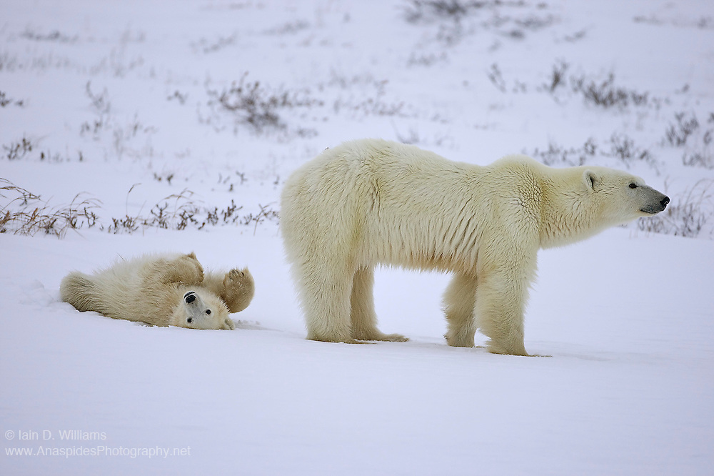 A mother polar bear looks intently into the distance whilst its cub playfully rolls in the snow.  The future of this mother  and cub is dubious if sea ice continually forms at later times each year; a possible cause from global climatic change