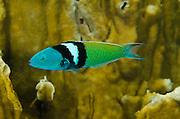 Bluehead (Thalassoma bifasciatum)<br /> BONAIRE, Netherlands Antilles, Caribbean<br /> HABITAT & DISTRIBUTION: Reefs<br /> Florida, Bahamas, Caribbean, Gulf of Mexico & Bermuda.
