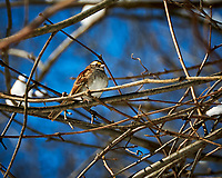 White-throated Sparrow. Image taken with a Nikon D300 camera and 18-200 mm VR lens (ISO 220, 200 mm, f/7.1 1/1000 sec).