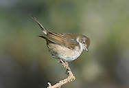 Whitethroat - Sylvia communis - juvenile. L 13-15cm. Familiar warbler of open country. Males often perch openly. Sexes are dissimilar. Adult male has blue-grey cap and face, grey-brown back and rufous edges to wing feathers. Throat is white while; underparts otherwise pale, suffused pinkish buff on breast. Legs are yellowish brown and yellowish bill is dark-tipped. Dark tail has white outer feathers. Adult female and juveniles are similar but cap and face are brownish and pale underparts (apart from white throat) are suffused pale buff. Voice Utters a harsh check alarm call. Song is a rapid and scratchy warble. Status Common summer visitor to scrub patches, hedgerows and heaths.