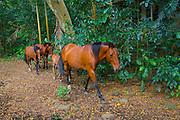 Wild horse, Waipio Valley, Big Island of Hawaii