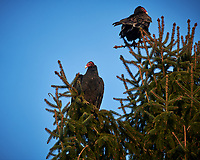 Turkey Vulture. Image taken with a Nikon D850 camera and 500 mm f/4 VRII lens