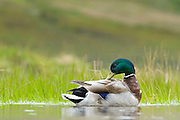 The male birds have bright green head, while the female is light brown. The Mallard lives in wetlands, eats water plants, and is gregarious.
