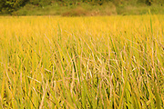 China, Guilin rice fields