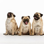 20130103 Pugs for Marc