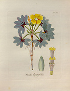 Wood sorrel (Oxalis flava syn Oxalis lupinifolia). Illustration from 'Oxalis Monographia iconibus illustrata' by Nikolaus Joseph Jacquin (1797-1798). published 1794