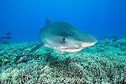 tiger shark, Galeocerdo cuvier, with jaw damaged from being hooked, swims over coral reef dominated by finger coral, Porites compressa, Honokohau, Kona, Big Island, Hawaii, USA ( Central Pacific Ocean )