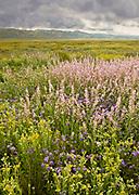 Fiddlenecks, Phacelia and Mixed Wildflowers, Carrizo Plain National Monument, California