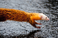 A Malayan Weasel (Mustela nudipes) running across the road in Mt. Kinabalu National Park, Sabah, Malaysian Borneo.