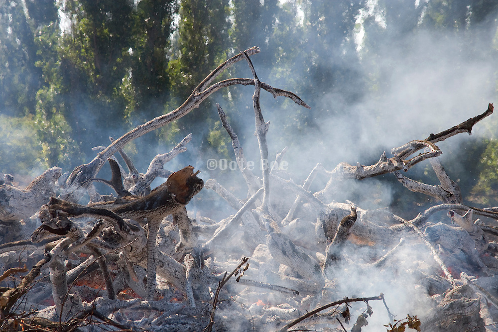 a controlled burning of old trees
