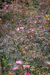 Rosa glauca 'Rubrifolia' and Papaver somniferum - Opium poppies
