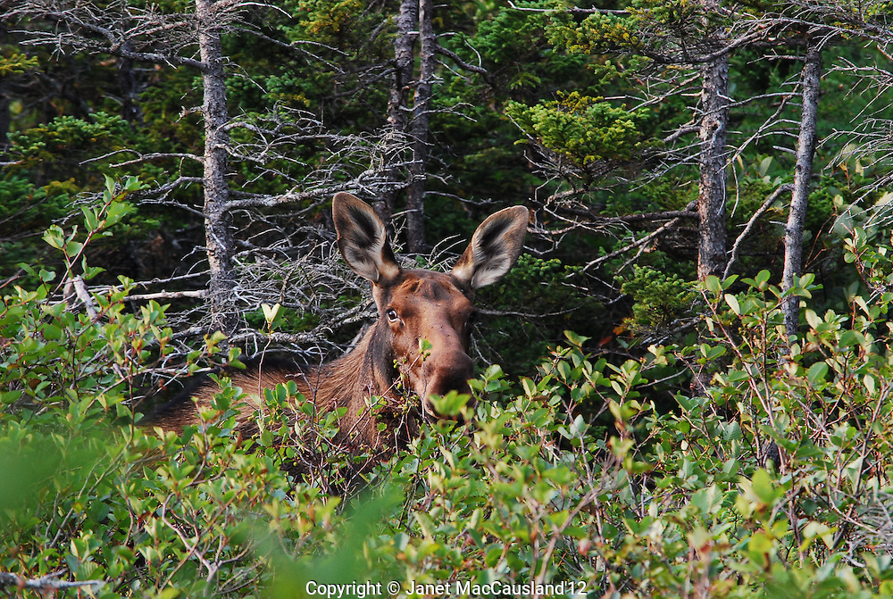 I was close enough to see the whites of the eyes when his startles Moose looks over the brush at me on a trail at Western Brook, Newfoundland. Moose are not native to Newfoundland, but four were brought over for hunting and they are now abundant. Their last predatory wolf was shot, and so they have no natural control.