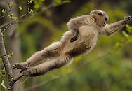 Yunnan Snub-nosed monkey, Rhinopithecus bieti, Ta Chen NP, Yunnan province, China
